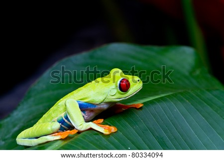 The amazing blue sides of the red eyed tree frog. - stock photo