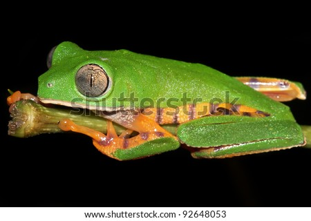 The AMAZING Tiger-legged Waxy Monkey Treefrog (Phyllomedusa tomopterna) in the Peruvian Amazon Isolated on black with lots of space for text