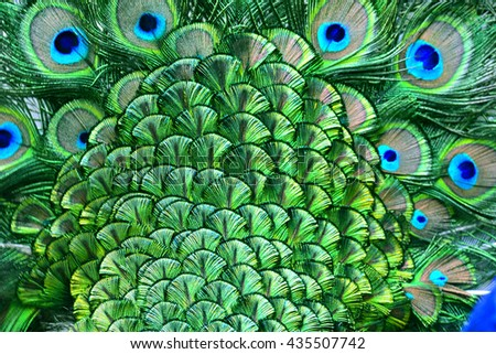 The amazing velvet green patches on Indian Peacock body feathers, the most beautiful bird feathers background - stock photo