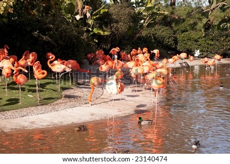 The American Flamingo or Caribbean Flamingo (Phoenicopterus ruber) is a large species of flamingo closely related to the Greater Flamingo and Chilean Flamingo.