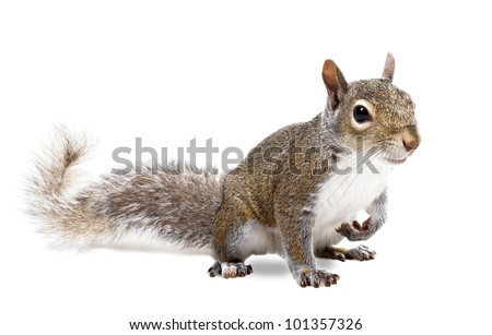The American gray squirrel paw anxiously pressed to his chest - stock photo