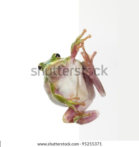 The American green tree frog (Hyla cinerea) is sitting on the side of the transparent plate - stock photo