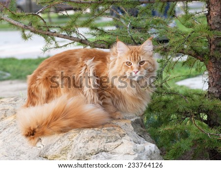 The American Longhair, also known as Maine Coon, is the biggest domesticated breed of cat with a distinctive physical appearance and high level hunting skills - stock photo