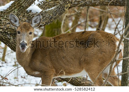 The American White Tail Deer grazing in winter forest