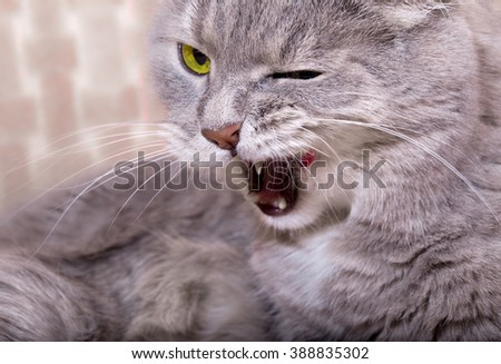 The angry cat lies and widely licks lips, having blinked an eye. Close up, small depth of sharpness - stock photo