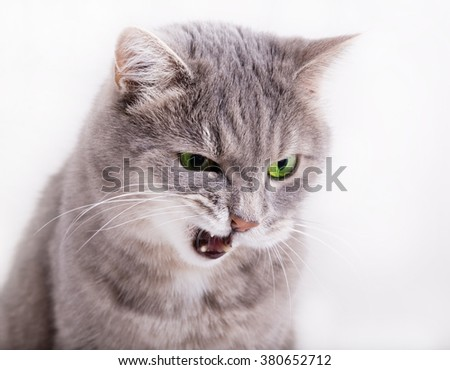 The angry gray cat with green eyes looks down, having blinked the eyes and having opened a mouth. Horizontal shot, white background, close up - stock photo