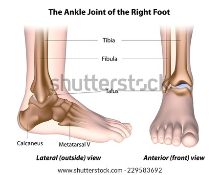 The ankle joint anatomy labeled. - stock photo