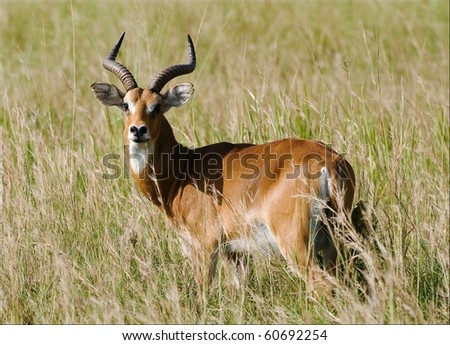 The Antelopes the impala costs on the grass which has turned yellow from the hot sun. - stock photo