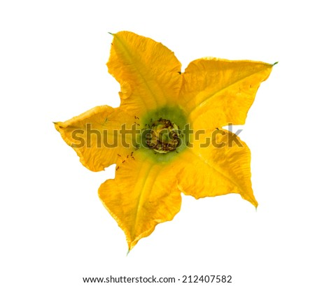 The ants eat pumpkin flowers with pollen. Isolated on white background. - stock photo