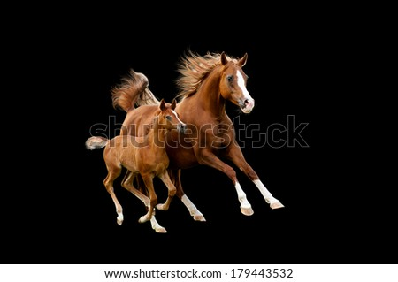 The arab mare with foal running isolated on black background - stock photo