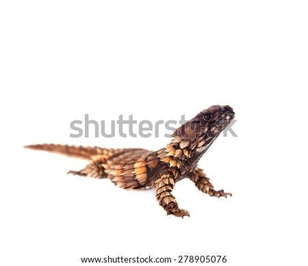 The armadillo girdled lizard on white - stock photo