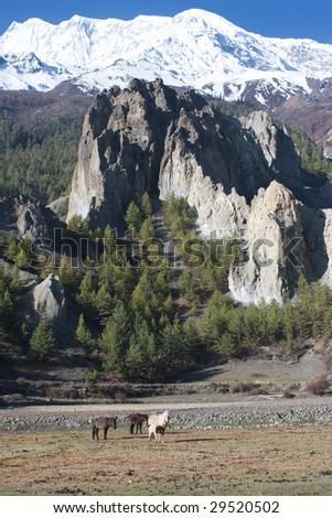 The around Annapurna trek  in the Nepal Himalaya. The Horses in the Marsyandi valley. - stock photo