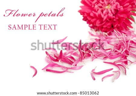 The aster flower isolated on white  background - stock photo