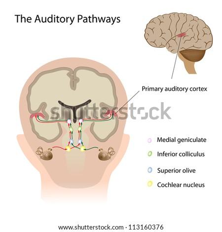 The auditory pathways - stock photo