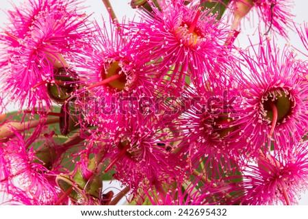 "The Australian Eucalyptus ""Summer Beauty"" in flower isolated on white. - stock photo"