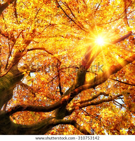 The autumn sun beautifully shining through the branches of a beech tree in vivid gold color - stock photo