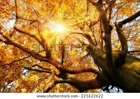 The autumn sun warmly shining through the beautiful branches of a large beech tree in vivid golden color - stock photo