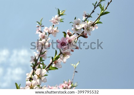 The awakening of nature earth day. Cherry blossom  with spring leaves - stock photo