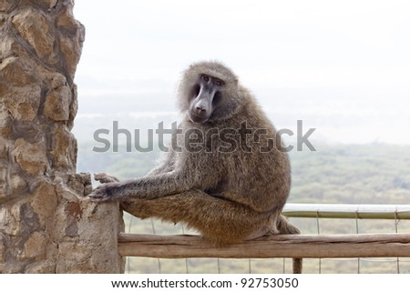 The Baboon in the park in the Kenya - stock photo