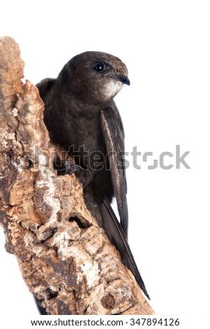 The baby bird of Common Swift, Apus apus, isolated on white - stock photo
