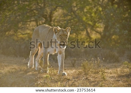The Backlit Lioness hunts towards the Photographer