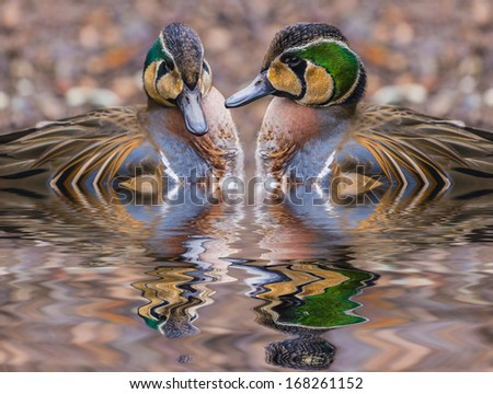 The Baikal Teal (Anas formosa), also called the Bimaculate Duck or Squawk Duck - stock photo