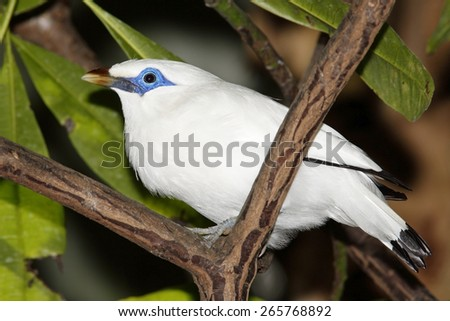 The Bali Starling, Leucopsar rothschildi, also known as the Bali Mynah, is endemic to the island of Bali, Indonesia - stock photo