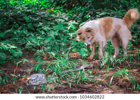 The Bang Kaew dog is looking at a snake in a wilderness.