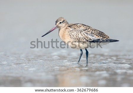 The bar-tailed godwit (Limosa lapponica) - stock photo