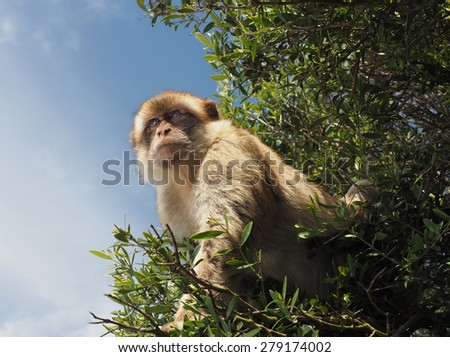 The Barbary Ape of Macaque Monkey Found on the Rock of Gibraltar  - stock photo