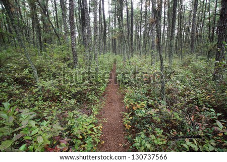 The Batona Trail cuts through Wharton State Forest in New Jersey Pine Barrens. - stock photo
