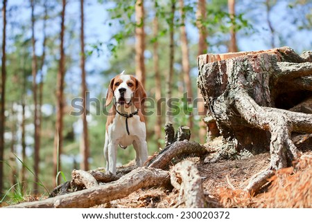 The beagle in forest searches for game