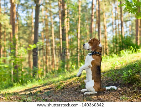 The beagle in wood searches for game - stock photo