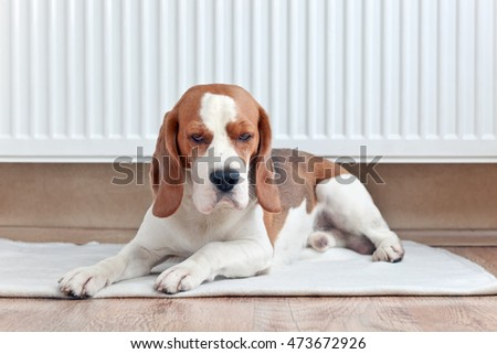 The Beagle lays on the floor near a warm radiator