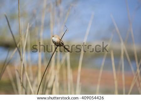 The bearded reedling (Panurus biarmicus) female  - stock photo