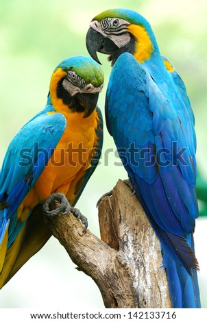 The beautiful birds Blue and Gold Macaw.