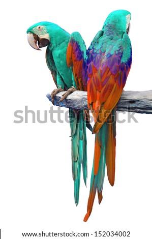 The beautiful birds Greenwinged Macaw isolate on white background.  - stock photo