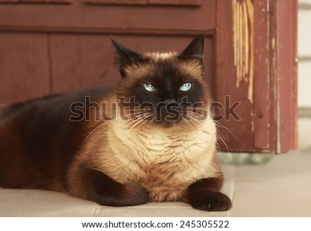 The beautiful brown cat, Siamese, with blue eyes lies on a porch near the house - stock photo