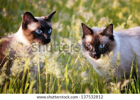 The beautiful brown cat, Siamese, with blue-green eyes lies in a green grass and leaves