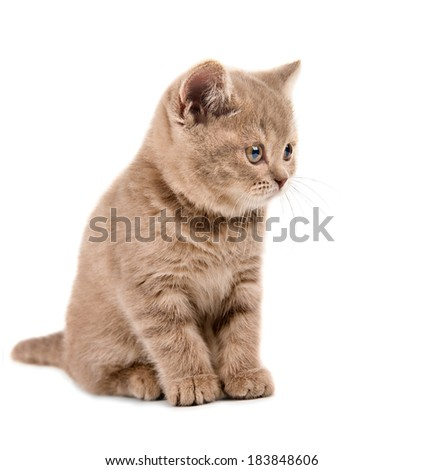 the beautiful brown little  kitten, sit on white  background , isolated