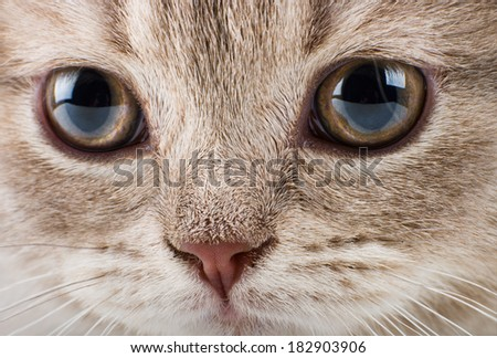 the beautiful brown little  kitten, very closeup  muzzle - stock photo