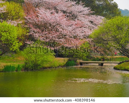 The beautiful cherry blossoms in the old style garden