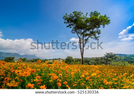 The beautiful Cosmos flower in field and a tree  blue sky is background on sunshine day Phetchabun Thailand.