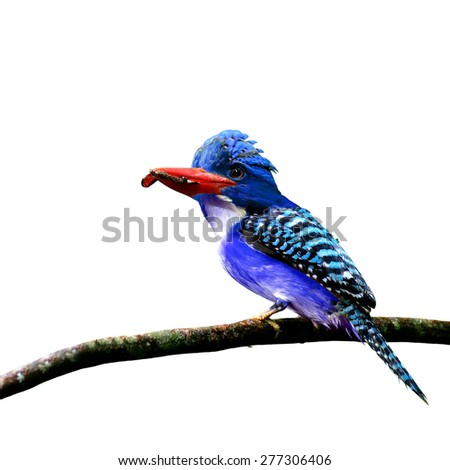 The beautiful crested blue bird carrying food in his mouth to feed its chicks isolated on white background - stock photo