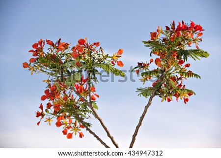 the beautiful delonix-regia flowers opening on the sky background in summer.