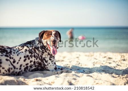 The beautiful dog lies on sand near the sea - stock photo