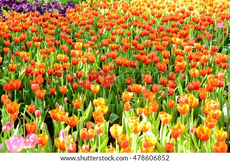 The beautiful fields of tulips.