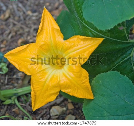 The beautiful flower of a pumpkin - stock photo