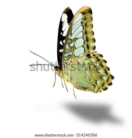 The beautiful flying pale green butterfly, Clipper Buttefly (parthenos sylvia) on white background