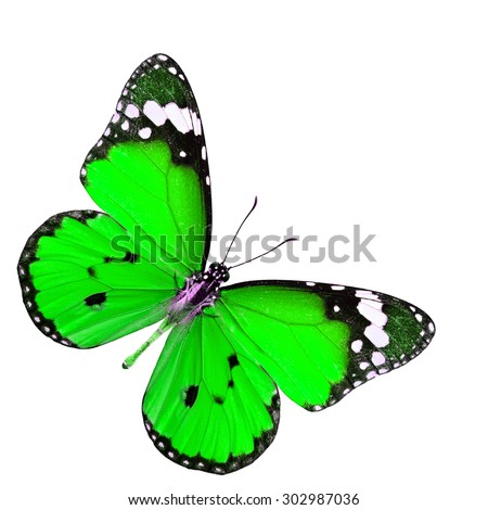 The beautiful green butterfly in fancy color profile stretched wings isolated on white background